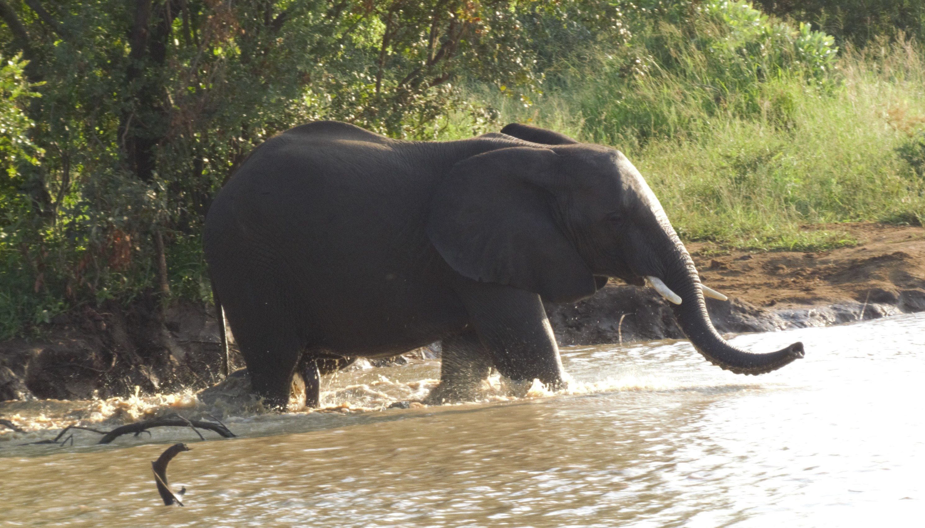 Elephant entering water_0105