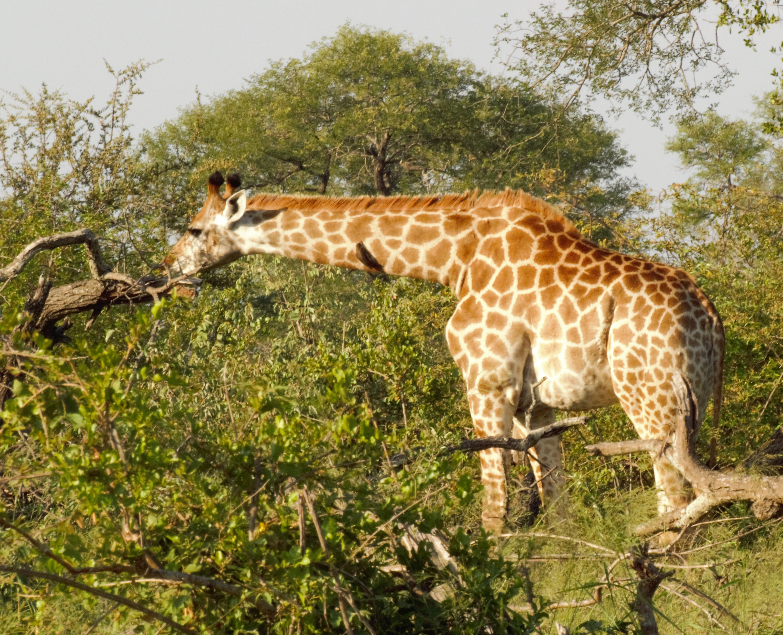 Giraffe feeding  on Acacia_0104
