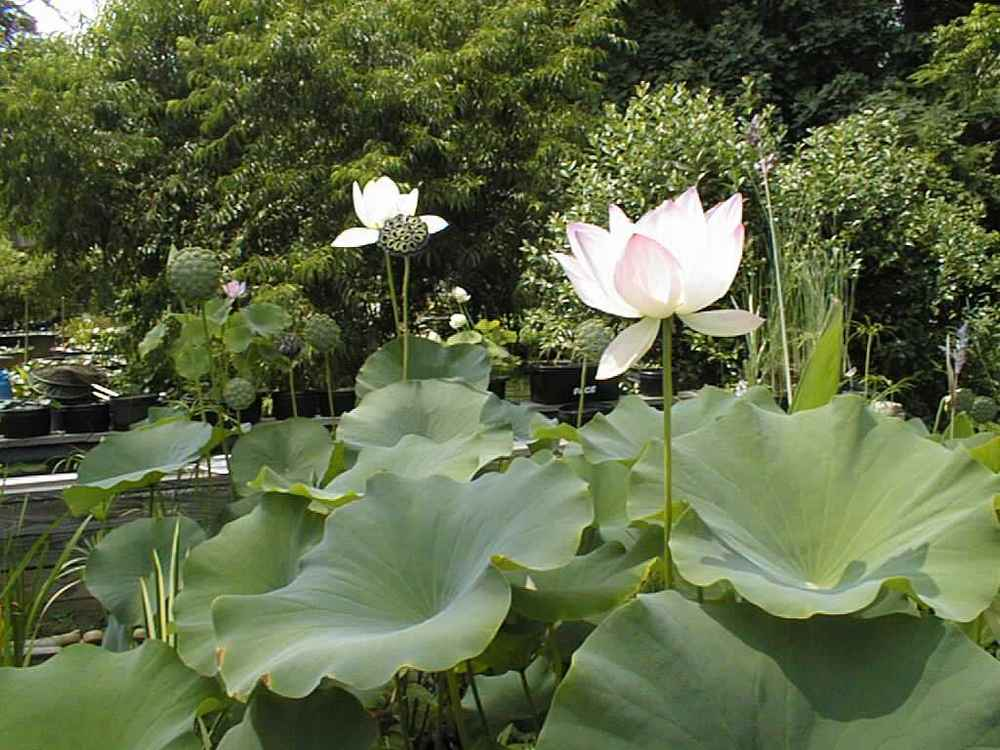 Resized_lotus_and_longpond008