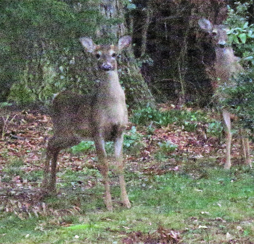 deer 2 ea better_4900