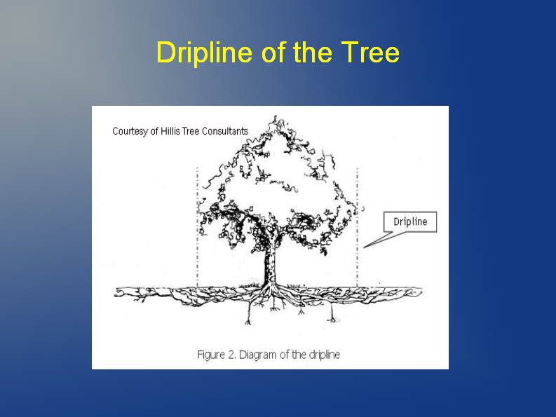dripline of tree