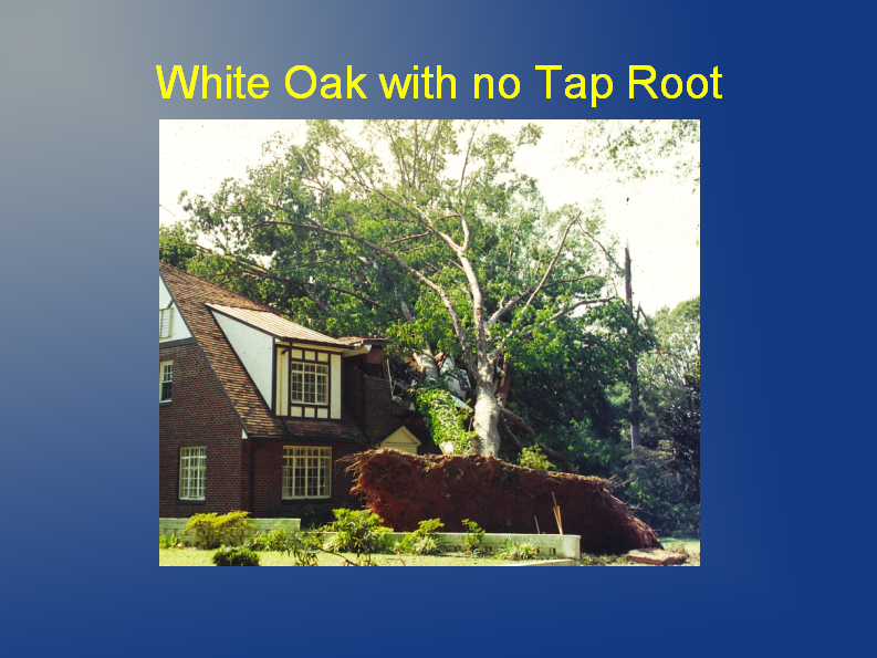white oak no tap root