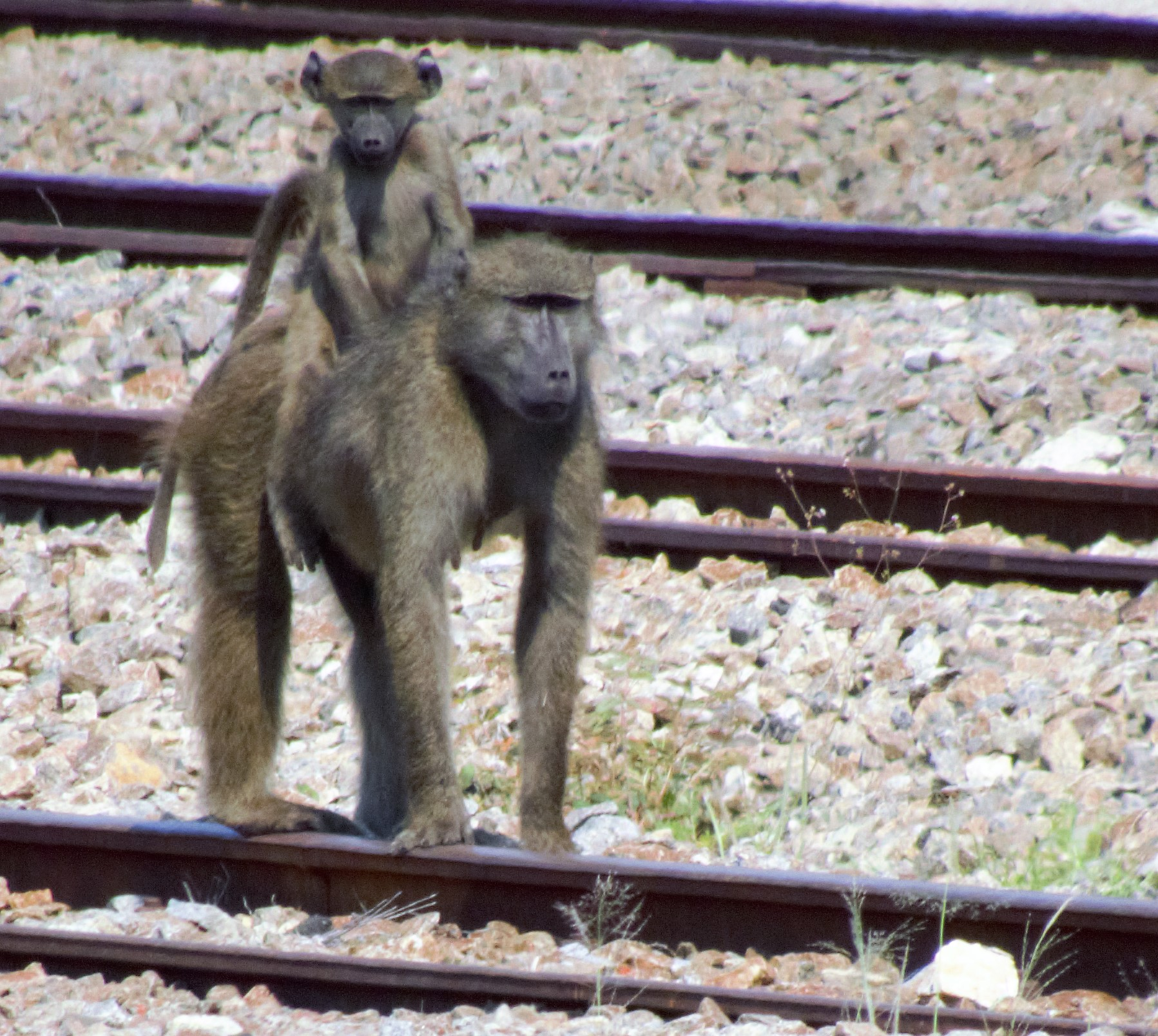 baboon and pup_0018